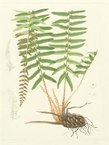Eaton Ferns IV by Daniel C. Eaton