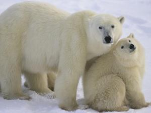 Polar Bear Mother and Cub by Daniel Cox