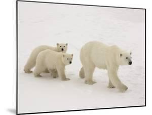 Polar Bear Mother and Cubs by Daniel Cox