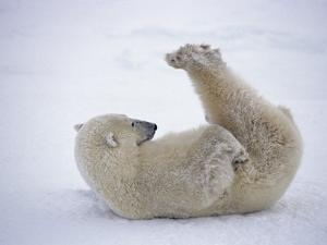 Polar Bear Rolling in Snow and Playing With Feet by Daniel Cox