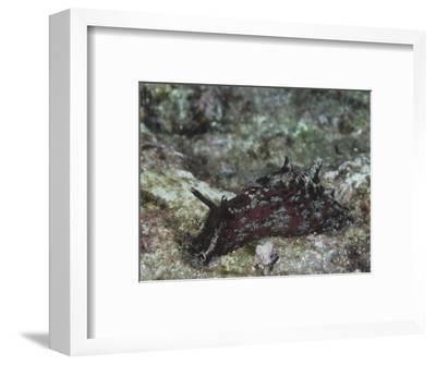 California Sea Hare, Aplysia Califorica, California, Usa, Pacific Ocean
