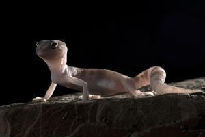 Desert Banded Gecko (Coleonyx Variegatus Variegatus) Controlled Conditions by Daniel Heuclin