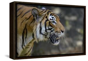 Malayan Tiger (Panthera Tigris Jacksoni), Malaysia by Daniel Heuclin