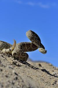 Mojave Rattlesnake (Crotalus Scutulatus) Mojave Desert, California, June by Daniel Heuclin
