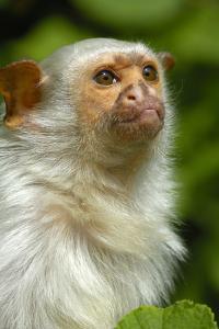 Portrait of a Silvery Marmoset (Mico - Callithrix Argentata) by Daniel Heuclin