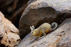 Desert Banded Gecko (Coleonyx Variegatus Variegatus) Controlled Conditions-Daniel Heuclin-Photographic Print