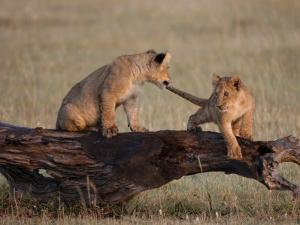 African Lion, Cubs Playing on Log, Kenya, Africa by Daniel J. Cox