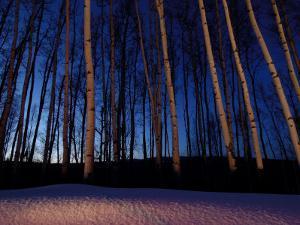 Aspen Forest in Winter Near Anchorage, USA by Daniel J. Cox