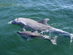 Bottlenose Dolphins Adult and Young, Honduras by Daniel J. Cox