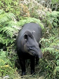 Brazilian Tapir, South America by Daniel J. Cox
