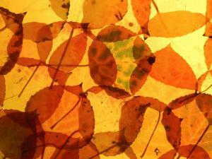 Collection of Aspen Leaves That are Bright Yellows and Oranges by Daniel J. Cox