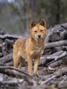 Dingo, Canis Familiaris Australia by Daniel J. Cox