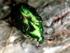 Emerald Beetle, Midway Islands of Hawaii by Daniel J. Cox