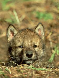Grey Wolf, Pup at Den in Spring by Daniel J. Cox