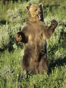 Grizzly Bear Bear Standing, USA by Daniel J. Cox