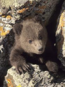 Grizzly Bear Cub Between Rocks, Montana, USA by Daniel J. Cox