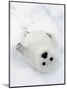 Harp Seal, Pup in Favorite Position on Its Back on Ice Pack, Nova Scotia, Canada by Daniel J. Cox