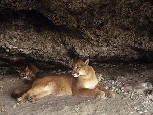 Mountain Lion, Adult and Young Cub in Den, Rocky Mountains by Daniel J. Cox