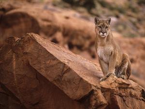 Mountain Lion in Canyonlands of Utah, USA by Daniel J. Cox
