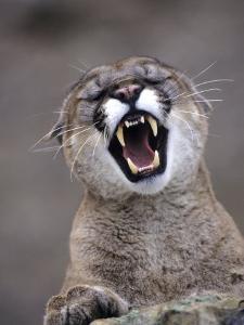 Mountain Lion, Portrait of Snarling Adult by Daniel J. Cox