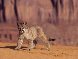 Mountain Lion, Portrait of Young Cub, USA by Daniel J. Cox