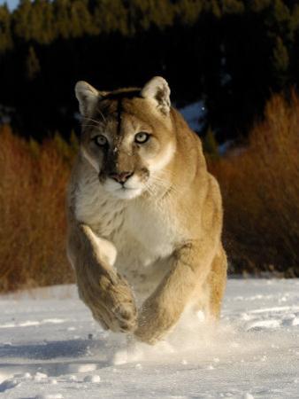 Mountain Lion, Winter, USA by Daniel J. Cox