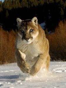 Mountain Lion, Winter, USA by Daniel J. Cox