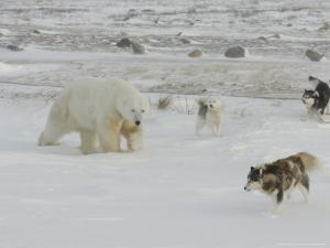 Polar Bear, and Local Sled Dogs at Cape Churchill, Manitoba, Canada by Daniel J. Cox