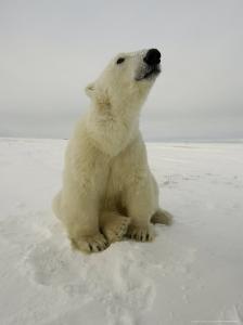 Polar Bear at Cape Churchill, Manitoba, Canada by Daniel J. Cox