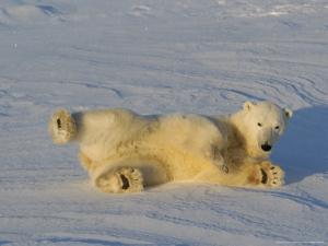 Polar Bear, Rolling in Snow at Cape Churchill, Manitoba, Canada by Daniel J. Cox