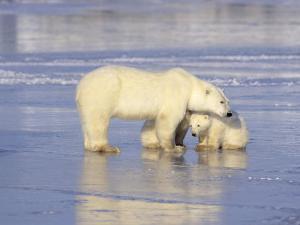 Polar Bears, Mother and Cub, Manitoba, Canada by Daniel J. Cox