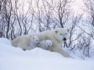 Polar Bears, Mother with Very Young Cubs Just Leaving Winter Den, Manitoba, Canada by Daniel J. Cox