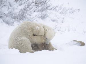Polar Bears, Pair of Cubs, Churchill, Canada by Daniel J. Cox
