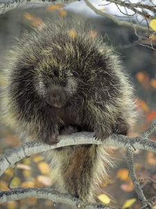 Porcupine in Aspen Tree in Autumn by Daniel J. Cox