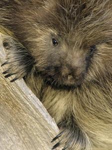Porcupine, Portrait of Sub Adult on Log, Montana, USA by Daniel J. Cox