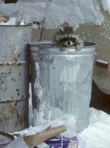 Raccoon, Climbing out of Urban Garbage Can, Winter by Daniel J. Cox
