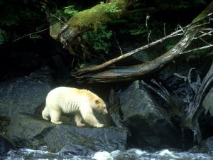 Spirit Bear, Beside River, Canada by Daniel J. Cox