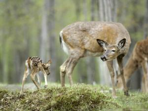 Whitetail Deer, Fawn Approaches Doe It Thinks is Its Mother by Daniel J. Cox