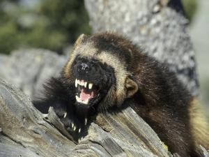 Wolverine, Snarling in the Foothills of the Rocky Mountains, USA by Daniel J. Cox