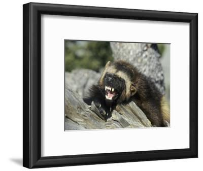 Wolverine, Snarling in the Foothills of the Rocky Mountains, USA