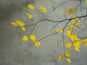 Yellow Autumnal Birch (Betula) Tree Limbs Against Gray Stucco Wall by Daniel Root