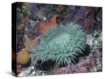 Anthopleura.Giant Sea Anemone in Tide Pool with Other Life.