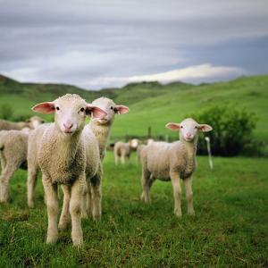 Lambs in Wyoming by Danielle D. Hughson