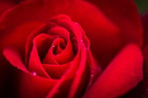 Close Up Macro Shot of a Wet Red Rose by Daniil Belyay