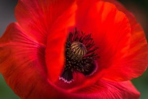 Red Poppy and Bud - Field Flower - Macro by Daniil Belyay