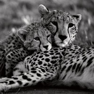 Cheetah with Cub