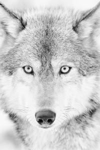 Lone Alaskan Gray Wolf II by Danita Delimont