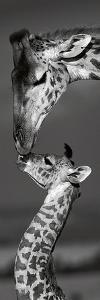 Masai Mara Giraffes by Danita Delimont
