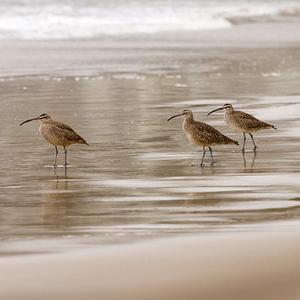 Shore Birds I by Danita Delimont