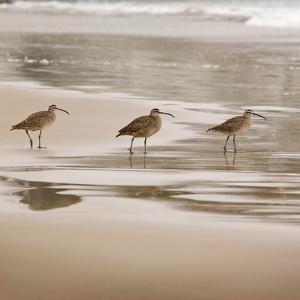 Shore Birds II by Danita Delimont